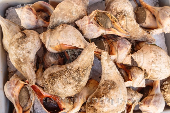 Conch in the Shell on Ice at Market | Stock Photo